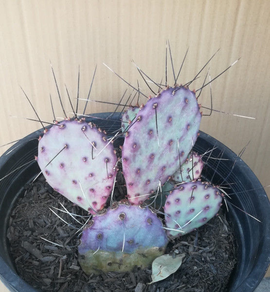 Opuntia macrocentra Extra Long White and Brown Spines Whole Plants