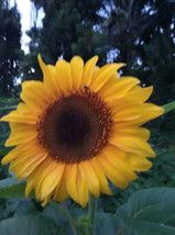 50 pcs busy bee sunflower bonsai seeds pack for your home garden - $3.59