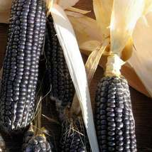 30Pcs Corn Blue Hopi Seeds Zea mays Seed Vegetable Seed - $19.27