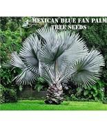 10 Mexican Blue Fan Palm Tree Seeds - $6.76