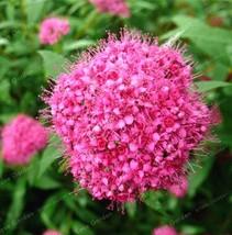 100X Dark Pink Spiraea Snow Ball Flower Seeds Chrysanthemum Spiraea - £0.80 GBP