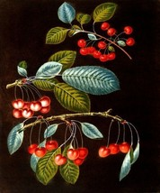 Cherry Variety Early May Adam's Crown Red Heart Fruit By George Brookshaw Repro - $10.96+