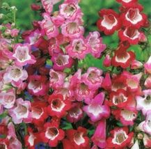 Shipped From Us, Penstemon Hartwegii Sensation Mix 40 Fresh Flower SEEDS-SPM - $22.99