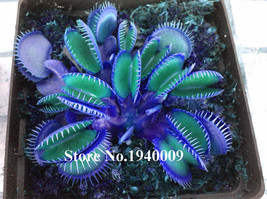 HOT Sale100 Seeds Potted blue Insectivorous Plant Dionaea Muscipula rare... - $3.99