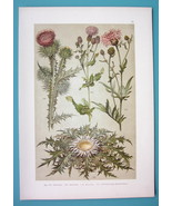BOTANICAL PRINT 1896 Color Litho - Cotton Creeping Thistle Great Knapweed - $7.64
