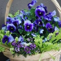 Pansy Ullswater  50 Flower Seeds - $12.98