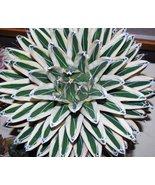 """HS Garden - 50 pcs/pack 100% Genuine Rare Agave Victoriae Reginae """"White... - $2.44"""