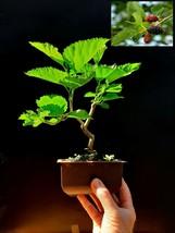 Bonsai Morus nigra tree 12 years old Exotic tree - $148.12
