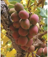 "Live Plant - Ken's Red Hardy Female Kiwi Plant - 2.5"" Pot - Gardening-tk... - $52.00"