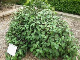 SHIP FROM US 5 TRUE PATCHOULI Shrub Fragrant Patchouly Pogostemon Seeds ... - $12.00