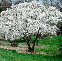 Star Magnolia shrub  Magnolia stellata image 3