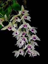Dendrobium rhodopterygium - $75.59