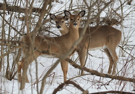 Deer 13 x 19 Unmatted Photograph - $35.00