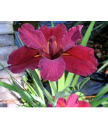 Red Velvet Elvis Louisiana Iris -Mature Blooming Size Plant -  3 Plants ... - $25.00