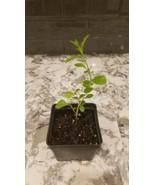 Lycium barbarum Live Plant Goji - $6.43