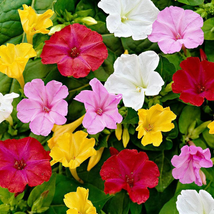 Four O'Clock Marvel of Peru Flower Seeds Fresh Seed -Flower Seed -Outdoor Living - $25.00+