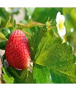 Mara Des Bois Everbearing 25 Live Strawberry Plants, Non GMO - $14.80