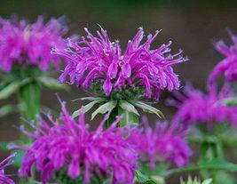 40 Monarda didyma Seeds Monarda punctata Mint Citriodora Organic - $13.58