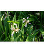 5 Pcs Seeds Coral Iris Foetidissima Flower - DL - $16.00