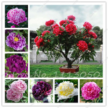 15Seeds Peony Tree Indoor Bonsai Plant Seed,Colorful Double Blooms Rare ... - $3.99
