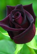 10 Dark Purple Rose Flower Bush Perennia Seeds #STL17 - $15.17