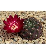 50 Seeds Green Purple Cactus Seeds Mixed Rare Succulents Stone Flower De... - $6.99