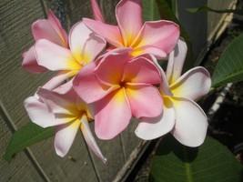 SALE ~Maui Beauty~ Rare Exotic Fragrant Plumeria Frangipani cutting - $12.99