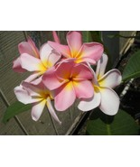 SALE ~Maui Beauty~ Rare Exotic Fragrant Plumeria Frangipani cutting - $12.99