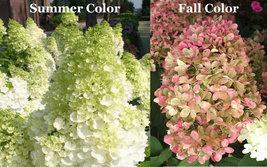 LIMELIGHT Hydrangea shrub PP#12874 image 3