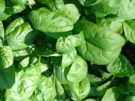 7000mg America Spinach Seeds 350 ct ~ Slow Bolting Savoyed ~ Baby Garden Greens - $16.99