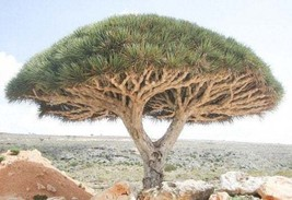 Dracaena draco - Dragon blood tree - 5 gallon size - Free Shipping(TR) - $60.00