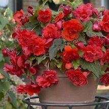 25 Seeds of Begonia Tuberous Illumination Series Orange Annual Seeds - $26.00