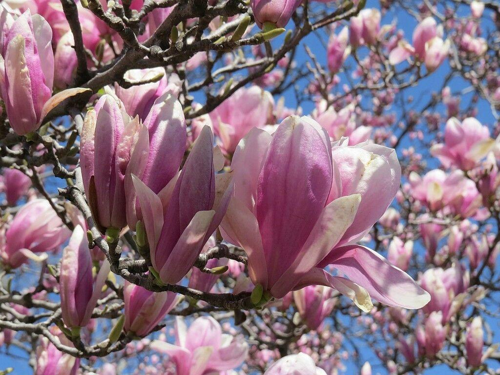 Jane Magnolia gallon pot shrub/tree