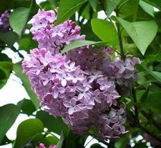 1 Packet of 100 Seeds French Lilac Shrub - Lamiales Oleaceae Ligustrinae Plantae - $14.57