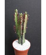 "SHIP From US, 6"" pot EUPHORBIA TRIGONA RUBRA, succulent plant cacti ECC - $66.99"