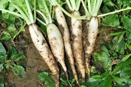 1 OZ=2500+DAIKON/MINOWASE Radish Seeds Non-Gmo Organic Sprouts Garden/Containers - $5.50