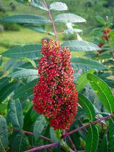 SHIP FROM US 75 SMOOTH SUMAC TREE Red Berries Rhus Glabra Borealis Seeds... - $12.00