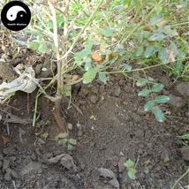 Buy Licorice Seeds 100pcs Plant Glycyrrhiza Glabra For Root Herb Gan Cao - $5.99