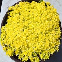 Gold Moss Sedum GOLDEN ACRE SEDUM STONECROP Groundcover 100Pcs/Bag - $4.85