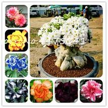 Bonsai Desert Rose Bonsai Flower Ornamental Plants Balcony Bonsai Potted... - $1.51