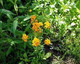 English Wallflower, yellow orange flower, 130 seeds - $7.99
