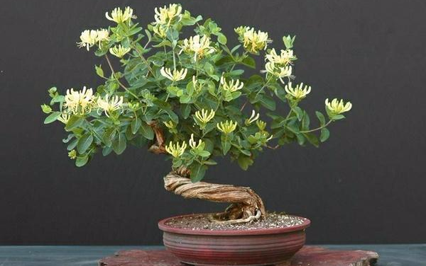 50Seeds courtyard balcony Climbing vines  honeysuckle Lonicera potted plan
