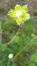 Organic Native Plant, Tall Thimbleweed, Anemone virginiana, Shade lover - $3.50