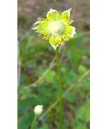 Organic Native Plant, Tall Thimbleweed, Anemone virginiana, Shade lover - $3.50