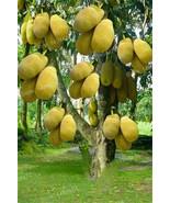 50pcs Fresh Jackfruit seeds Tropical Rare Giant Tree Seeds fruit garden ... - $14.00