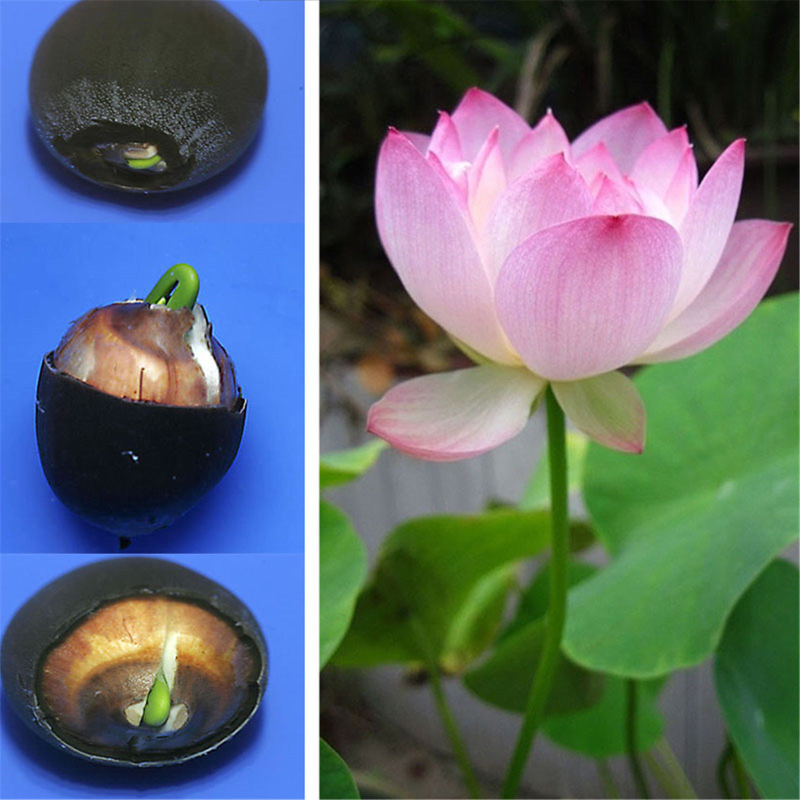10Pcs Lotus Nymphaea Asian Water Lily Pad Flower Pond Seeds