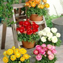 20 Pcs Ranunculus Seeds For DIY Garden Decoration Buttercup Flower Seed S080 - $13.58