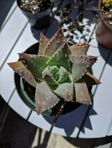 """aloe brevifolia succulent shown in 4"""" pot huge well rooted - $10.88"""