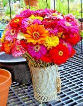 Giant California Zinnia Mix 300 Flower Seeds - $15.98