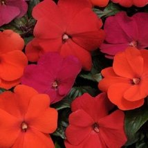 50 Seeds of New Guinea Impatiens Divine Hot Cha Cha Mix - $16.83